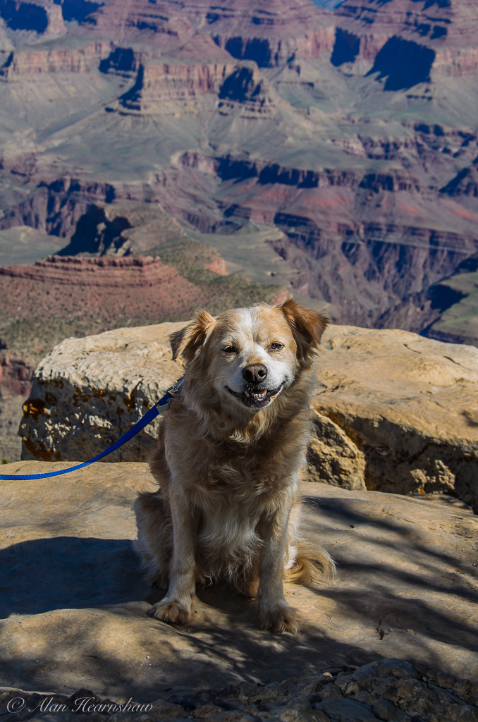 My dog, Sally, looking out over the grand canyon